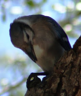 Photograph of Scrub Jay by Darla Sue Dollman.