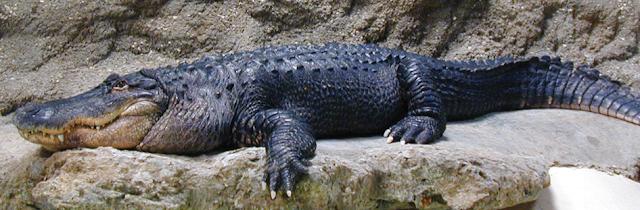 تمساح القاطور الأمريكي