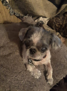Help with Shih Tzu ICU Hospital Bills