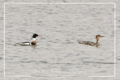 Red-breasted Mergansers. Copyright © Shelley Banks, all rights reserved.
