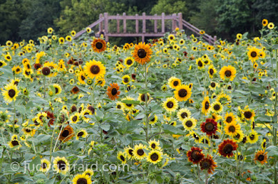Viewing Platform in the Field of Sunflowers