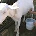 Susu kambing ternyata banyak manfaatnya