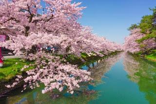 Cherry Blossom Sakura - berbagaireviews.com