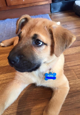 Puppy wearing a blue, boneshaped dog tag.