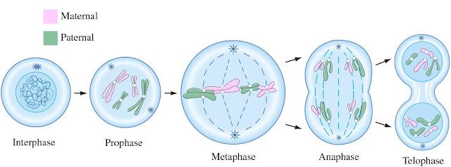 Hasil gambar untuk pembelahan mitosis sel pandani