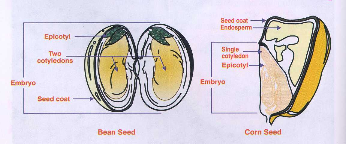 bean seedling diagram 2003 subaru wrx radio wiring dicot all data major differences difference between monocot seed and plant