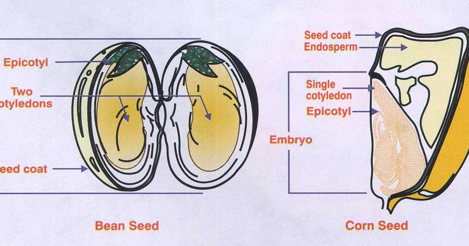 Animal Vs Plant Cell Diagram Nissan Primera P12 Audio Wiring Difference Between Monocot Seed And Dicot | Major Differences