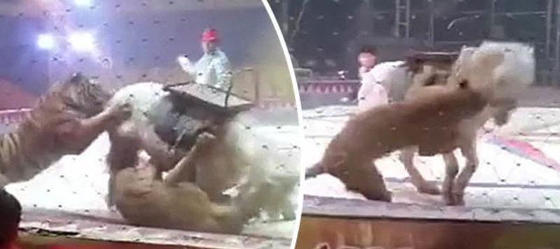 Μια τίγρη και μια λέαινα σε τσίρκο επιτίθενταιΜια τίγρη και μια λέαινα σε τσίρκο, επιτίθενται σε άλογο με σκοπό να το κατασπαράξουν! (βίντεο)σε ένα άλογο σε ένα τσίρκο με σκοπό να το κατασπαράξουν! (βίντεο)