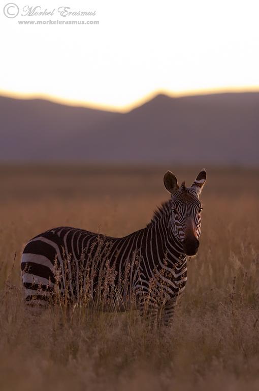 Dusk Zebra