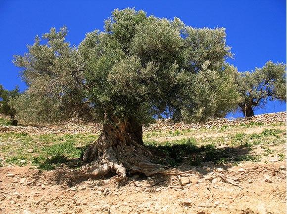 Reaksi Kaum Israel Saat Pohon Yahudi Terbakar, Langsung Lakukan Ritual
