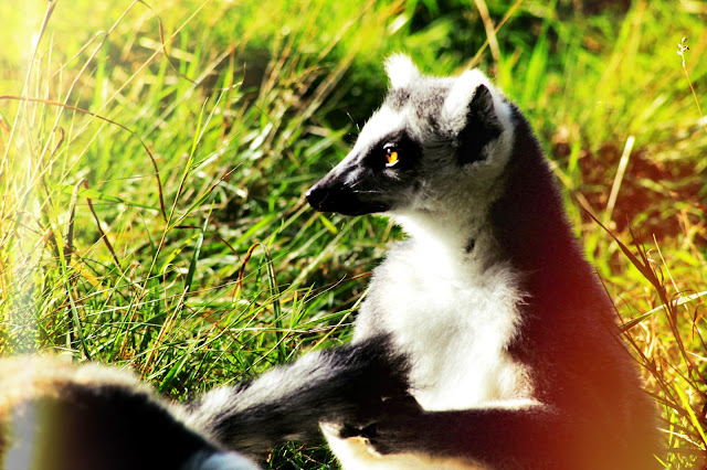 day out, west midlands safari park, wildlife, competition, photographer, photography, beauty blogger, wild animals, ring tailed lemur,