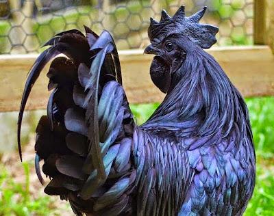 الذ الدجاج