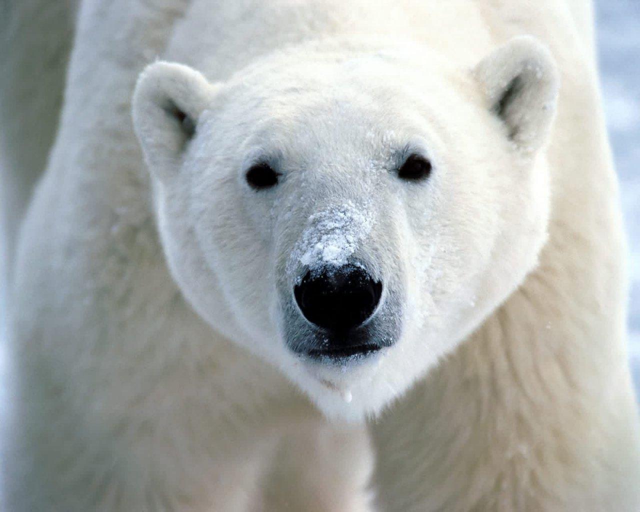 IMÁGENES Y FOTOS DE ANIMALES: Oso Polar