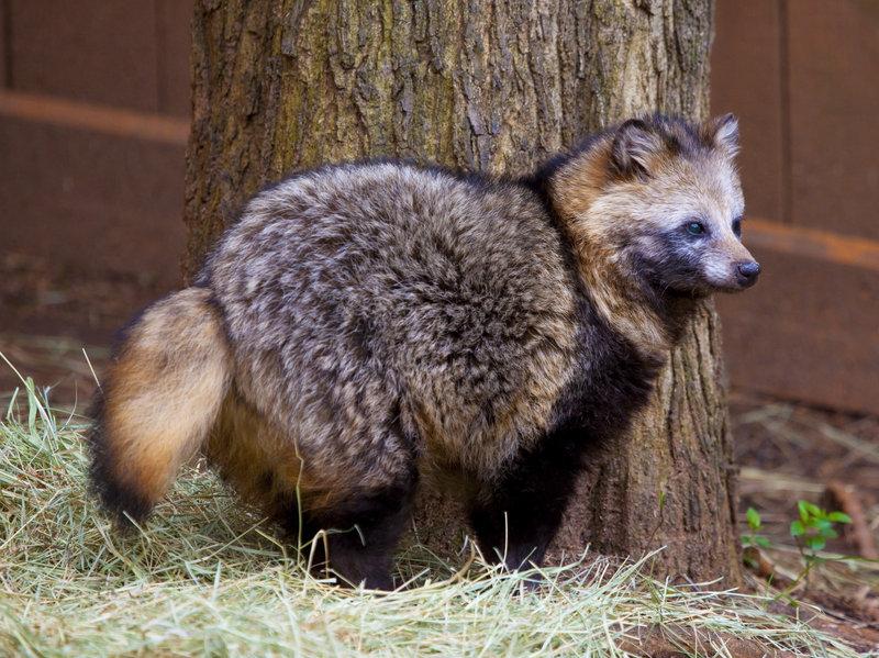 Raccoon Dog True Wildlife Creatures