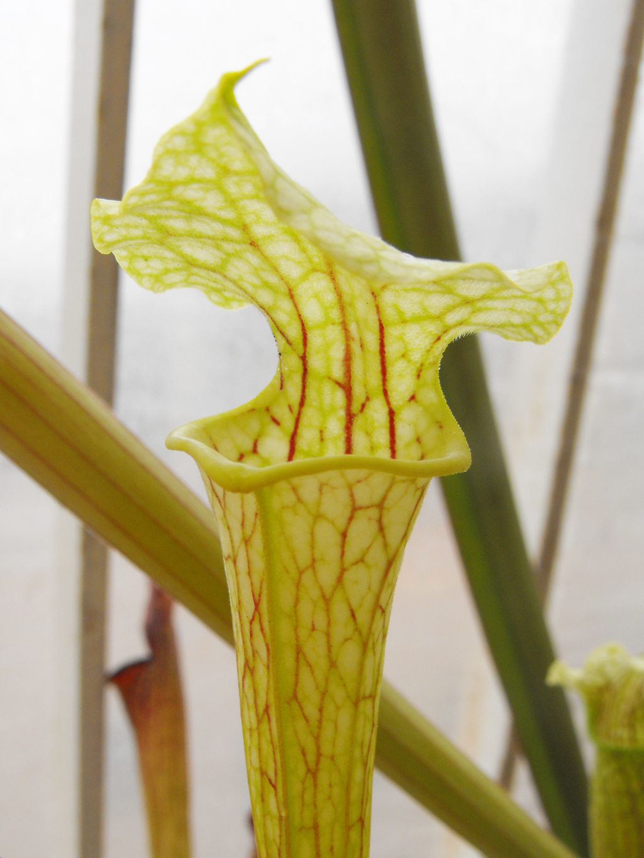 Sarracenia rubra var gulfensis Giant forma carnivora TUBO Pianta
