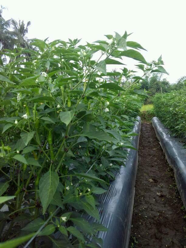 Tanaman Cabe Tumbuh Subur Dari Proses Pembibitan yang Benar