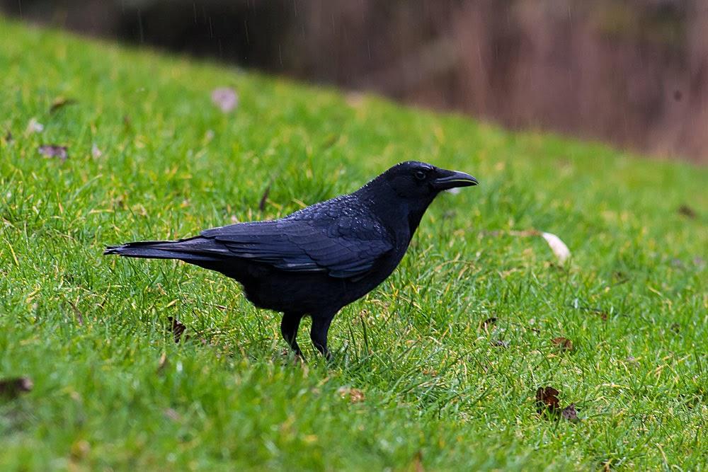 Carrion Crow in the rain, Lodge Lake, Milton Keynes