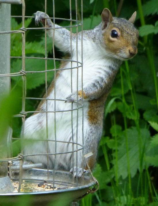 Squirrel holding on to the hanging bird feeder