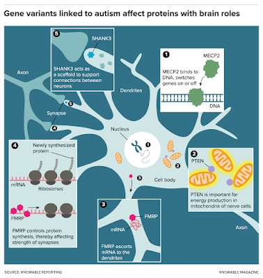 Graphic illustrating how four different genes affect neurons