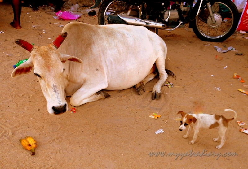 A cow mooing lazing in the streets of Rameshwaram, Tamil Nadu