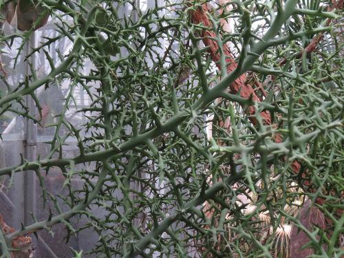 Euphorbia stenoclada Meijer Gardens