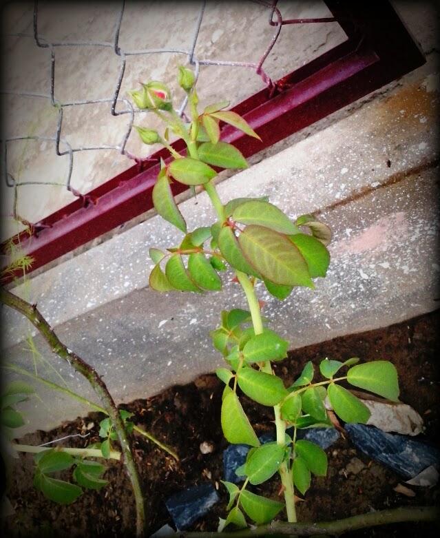 Chăm sóc đúng cánh cành hồng cho 5 nụ hoa