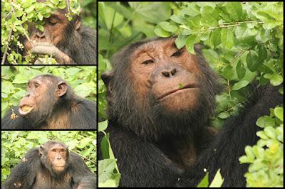1-day-Chimps-trek-in-Forest-Budongo-Kaniyo-Pabidi-gorillatourbooking
