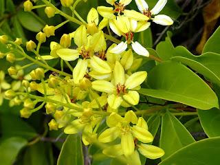 Etoile d'Australie - Douche d'or - Tristellateia australasiae