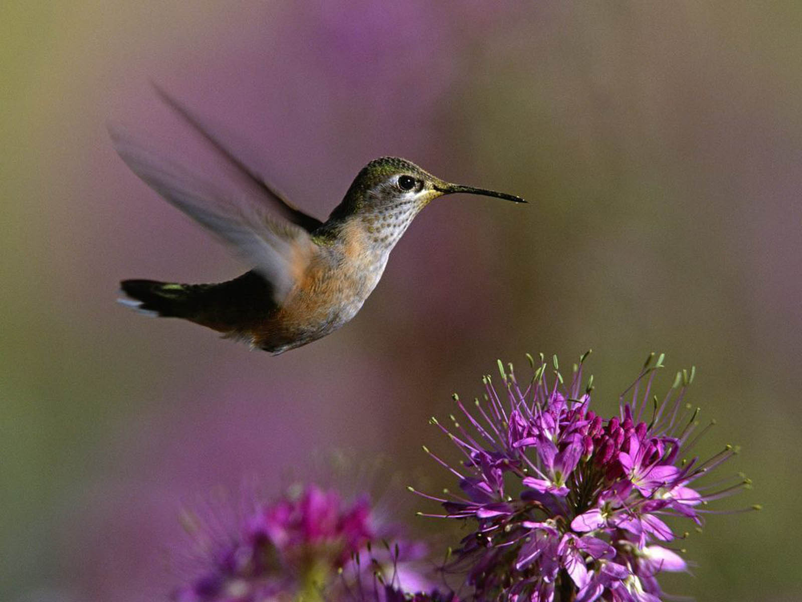 Download Free Hummingbird Wallpapers: Wallpapers: Hummingbird Wallpapers