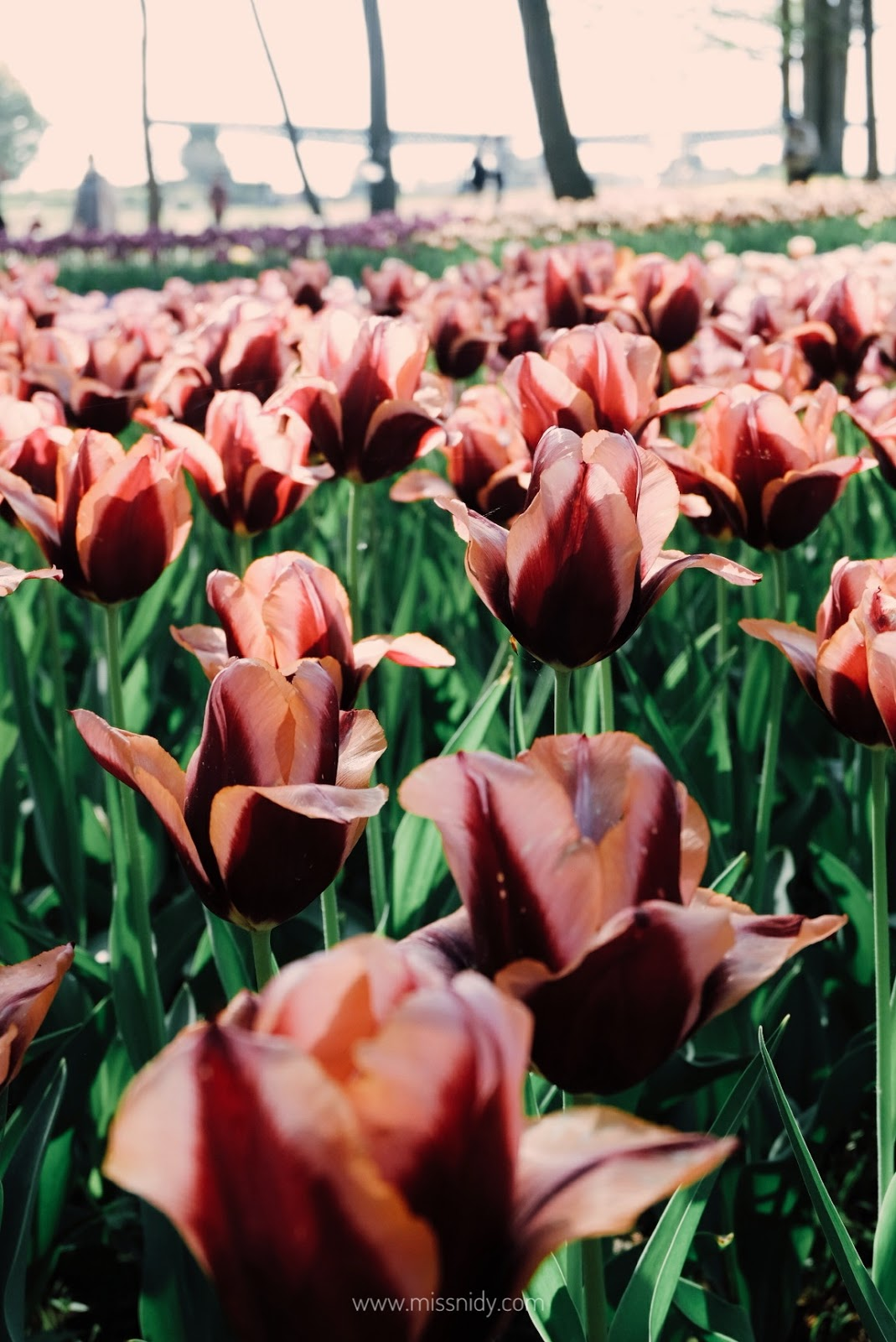 where to find tulip garden in japan