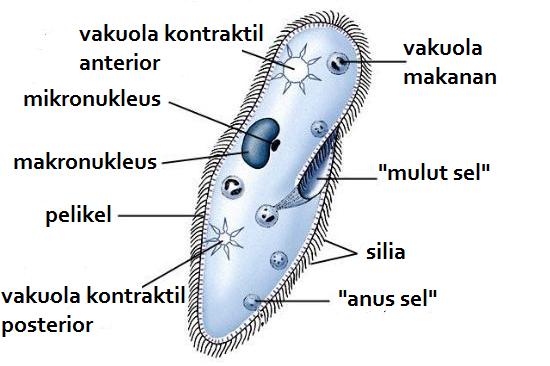 Ciri, Klasifikasi dan Peranan Protista (Protozoa, Alga ...