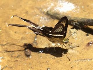 スソビキアゲハ White Dragon Tail