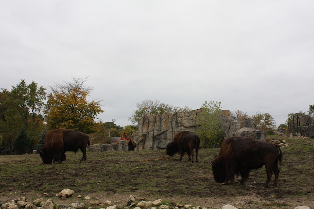 Bison grazing at Brookfield Zoo