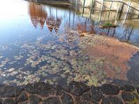打上川治水緑地・メタセコイアの紅葉 睡蓮の葉