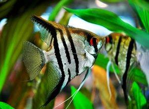 perbedaan-ikan-manfish.jpg