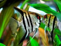 5 Perbedaan Ikan Manfish Jantan dan Betina