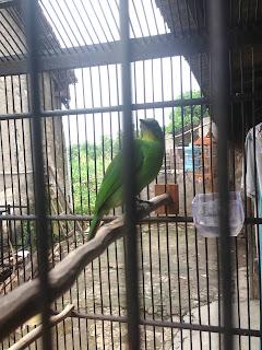 Para teman tentunya pernah mendengar atau memang mengalaminya sendiri Cara Menjaga Birahi Burung Cucak Ijo