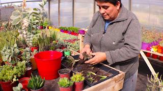 Como reproducir Aloe Vera y otras suculentas. Enraizamiento de hijuelos de Aloe Vera - 1