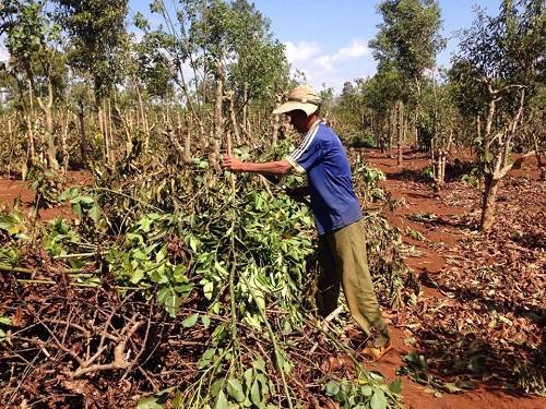 """Gia Lai: """"Đánh cược"""" với thương lái Trung Quốc, nông dân chặt bỏ cà phê trồng chanh dây"""