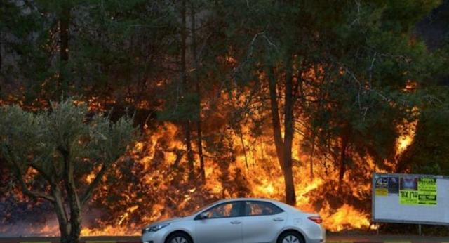 Pohon Ghorqod di Israel Ikut Terbakar, pohon Ghorqod adalah pohon yang melindungi Yahudi