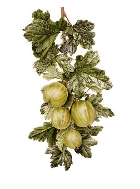 Gooseberries (Ribes uva-crispa) © Jessica Rosemary Shepherd
