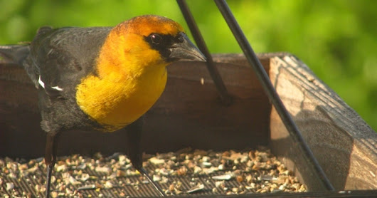 Hill Country Mysteries: Yellow-headed Blackbird -- just passing through