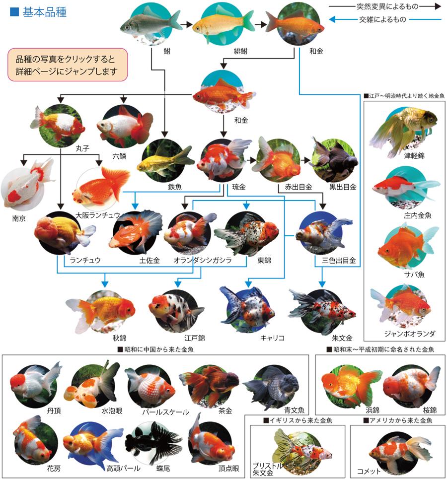 Mondo dei rettili carassius auratus il pesce rosso for Pesce rosso costo