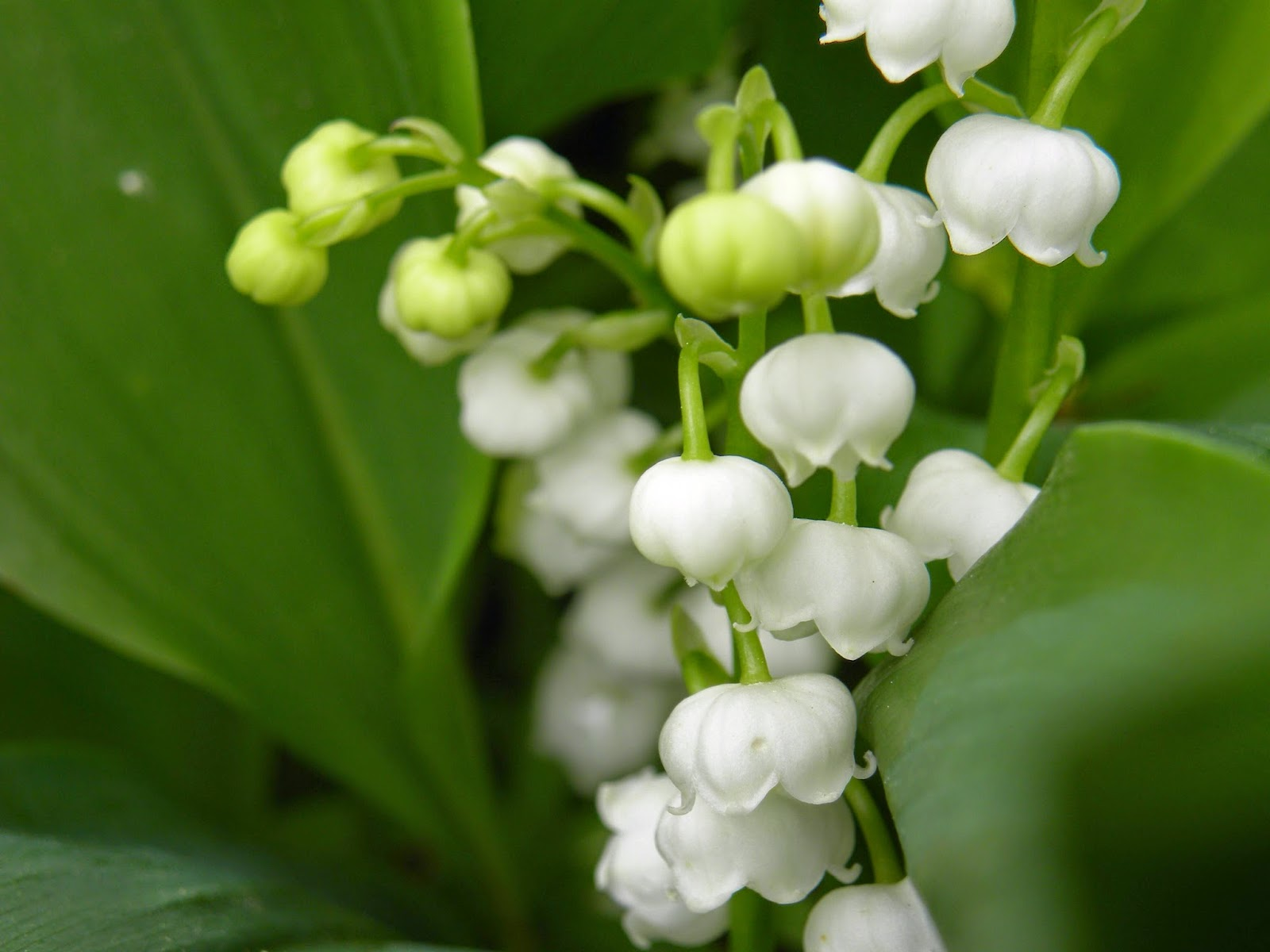 Small White Bell Shaped Flowers And Purple Gardening Flower And
