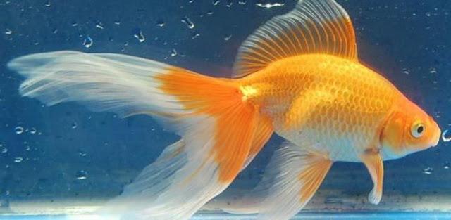 Jenis Ikan Hias Air Tawar Ikan Komet