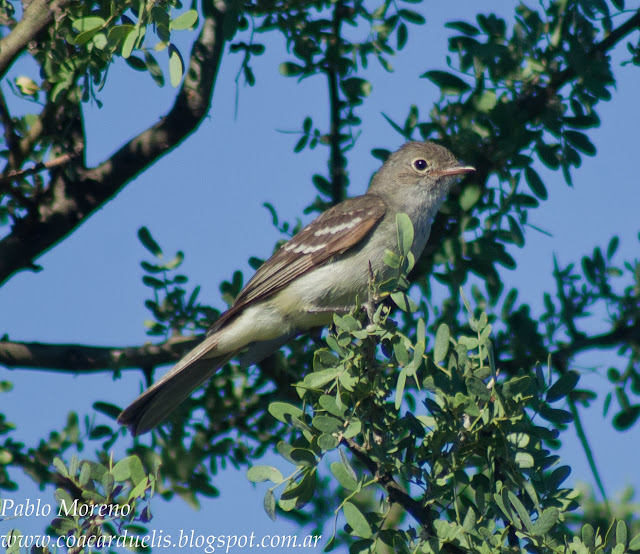 "alt=""fiofio pico corto,Elaenia parvirostris,aves de Mendoza"""