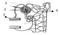 40 Soal Pilgan Sistem Ekskresi Manusia dan Hewan & Jawaban