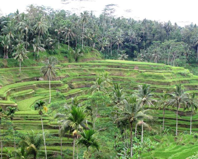 Ubud Bali Rice Terraces - Best Bali Holiday Tour Packages