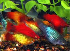 Jenis Ikan Hias Air Tawar Platy
