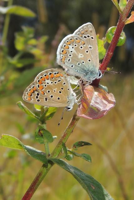 Polyommatus icarus en Pontevedra